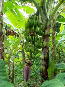 Bananen ohne Ende